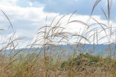 Трава Пампаса в ветре с облаками и небом Стоковые Изображения RF