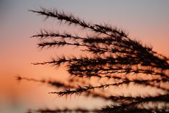 Трава Пампаса в заходе солнца стоковая фотография