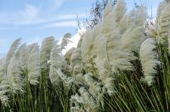 Трава Пампаса дуя в ветре Стоковое фото RF