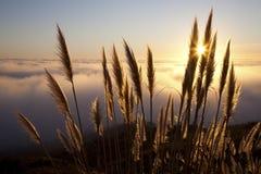 Трава Пампаса Стоковая Фотография