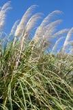 Трава Пампаса Стоковое Фото