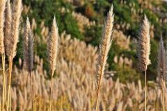 Трава Пампаса Стоковое Изображение RF