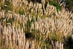Трава Пампаса Стоковые Фото