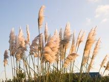 Трава Пампаса, selloana Cortaderia outdoors Стоковое Изображение RF