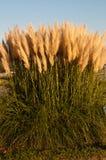 Трава Пампас Стоковые Изображения RF