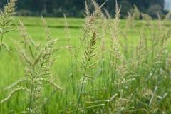 Трава падиа Стоковое Изображение