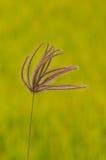 Трава пальца (хлорида) на зеленом желтом (поле почти зрелого) риса стоковые изображения rf