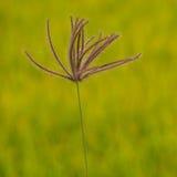 Трава пальца (хлорида) на зеленом желтом (поле почти зрелого) риса стоковая фотография rf
