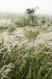 Трава пера в ветре Стоковое Изображение