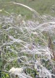 Трава пера на поле Стоковые Изображения RF