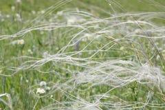 Трава пера на поле Стоковое Фото