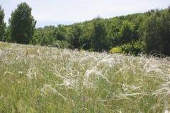 Трава пера на луге Стоковые Фотографии RF