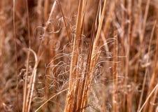 Трава пера степи стоковое изображение rf