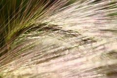 Трава пера стоковые фотографии rf