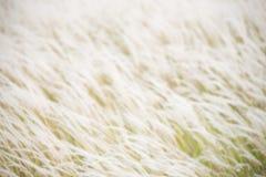Трава пера Стоковые Изображения RF