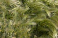 Трава пера Стоковое Фото