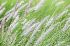 Трава пера Pennisetum стоковые изображения rf