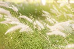 Трава пера Pennisetum стоковые фотографии rf