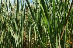Трава поздним летом высокорослая на крае заболоченного места Стоковые Изображения RF