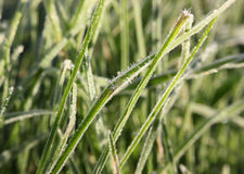 Трава покрытая с изморозью в морозном утре Стоковая Фотография RF