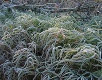Трава покрытая с изморозью Стоковая Фотография