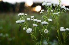 трава поля цветов camomiles предпосылки стоковое фото