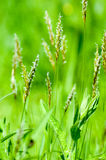 Трава портрета завода сладостная весенняя стоковое фото rf