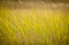 Трава пошатывает в ветре Стоковая Фотография RF