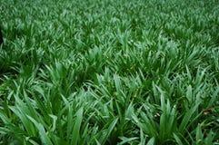 трава предпосылок Стоковые Изображения
