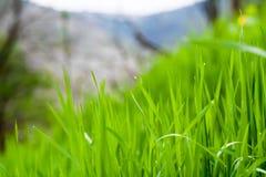 Трава, предпосылка, зеленый цвет, природа, весна, лужайка, лето, рост, утро Стоковая Фотография RF