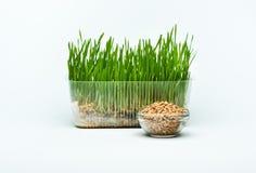 Трава пшеницы пускает ростии в зернах пластмасового контейнера и пшеницы Стоковое Фото