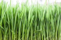 Трава пшеницы Стоковые Изображения