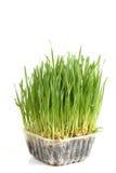 Трава пшеницы Стоковые Фотографии RF