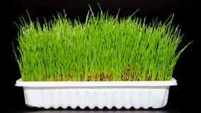 Трава пшеницы Стоковые Изображения RF