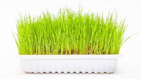 Трава пшеницы Wheatgrass Стоковое Изображение