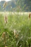 трава пыли цветения Стоковые Фотографии RF