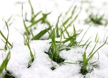Трава в снежке Стоковые Изображения