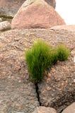 Трава растя на камне Стоковые Изображения RF