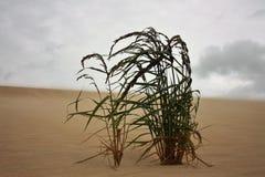 Трава растя на песчанных дюнах дует в ветре стоковая фотография rf