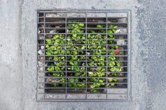 Трава растя через люк canalization или канализации стоковые фото