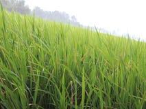Трава риса Стоковая Фотография