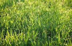 трава росы Стоковое Изображение RF