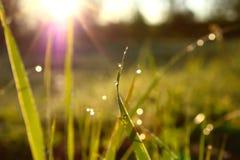 Трава Свежая зеленая трава весны с крупным планом падений росы Стоковые Фото