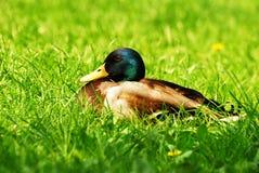 трава селезна Стоковая Фотография RF