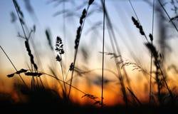 Трава силуэта сухая Стоковые Изображения
