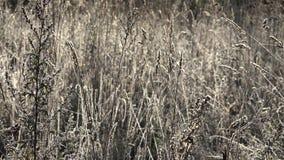 Трава согнула луг при слабый заморозок светя в солнце утра 4K сток-видео