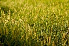 трава солнечная Стоковые Изображения