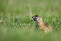 трава суслика Стоковое Фото