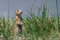 трава суслика Стоковая Фотография