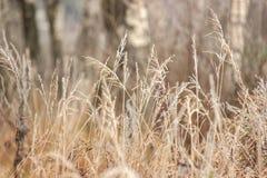 Трава с зимой заморозка пришла непредвиденно Высушенная трава заставка, предпосылка стоковая фотография rf
